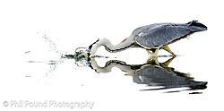 Heron8.jpg