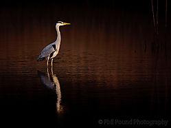 Heron_at_Sunset.jpg