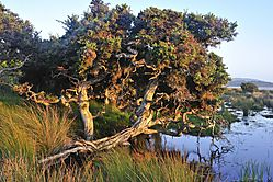 Tree_-_Denamrk_Ocean_Beach_2011_005.jpg