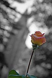 Rose_1_070609c.jpg