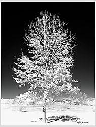 Oak-Tree---IR.jpg