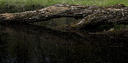 Black_Water_Log_cropped_-_Nikonians.jpg