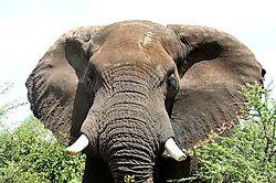Elephant_African_DSC_5946.JPG