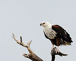 Eagle_Fish_DSC_4027.JPG