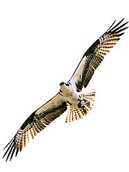 Osprey-12.jpg