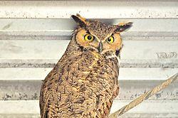 owls_100.JPG