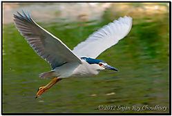Bird_Heron_Night_Alipore_Zoo_2012_DSC_7789_f_r_s_cr_FB.jpg