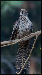 Bird_Koel_Asian_Female_Alipore_Zoo_2012_DSC_7735_f_r_cr_FB.jpg