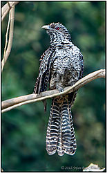 Bird_Koel_Asian_Female_Alipore_Zoo_2012_DSC_7750_f_r_s_cr_FB.jpg