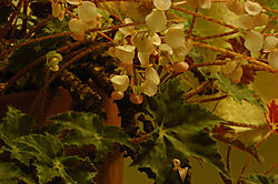 Blooming Begonias