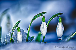 Snow_and_Snow_Drops.jpg