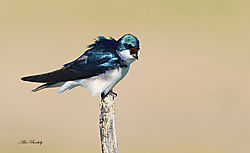 BIG_MOUTH-TREE_SWALLOW.jpg