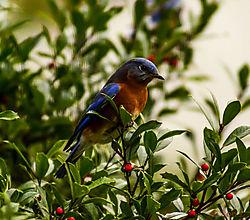 blue_bird11.jpg