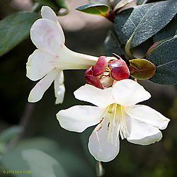 Spring_Rhododendrons_2012_-_Number_5.jpg