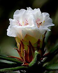 Spring_Rhododendrons_2012_-_Number_8.jpg