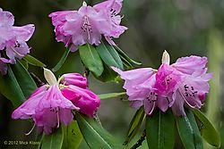 Spring_Rhododendrons_2012_-_Number_9.jpg