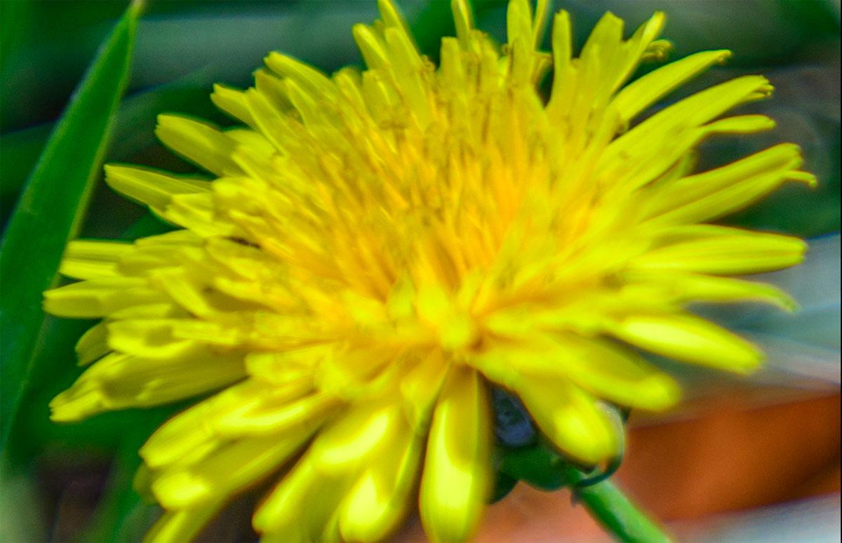 Dandelion_crop