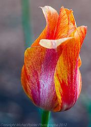 Tulips2012-2.jpg