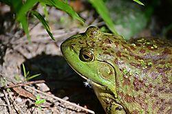 Frog_Photo_v3_6-6-12_PK.jpg