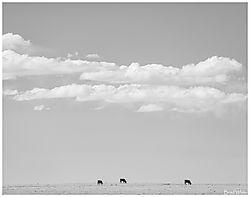 Cows5.jpg