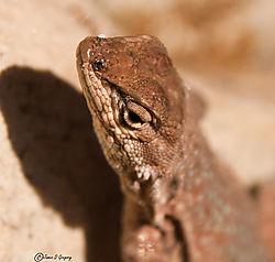 Side_Blotched_Lizard_Colorado_National_Monument_DSC_0520.jpg