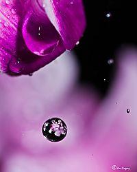 Water_Drops_Cyclamen_Flower_2JG9528-3.JPG