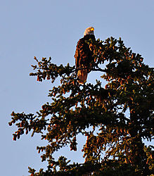 crop_of_eagle_from_raft_on_Snake_River.jpg