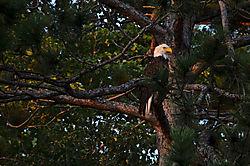Eagle_at_SunsetII_-_Nikonians.jpg