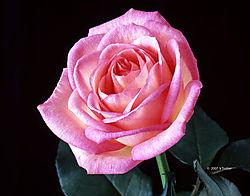 2007_04_flower_6.jpg
