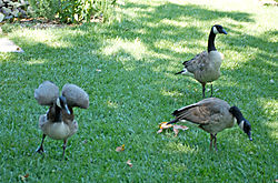 Duck-flapping-wings1.jpg