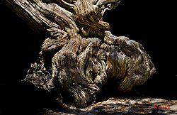 tree_face555tif.jpg