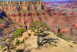 Canyon_with_Hanging_Pine.jpg