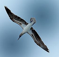 blue_booby_in_flight.jpg