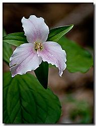 Wildflower21.jpg