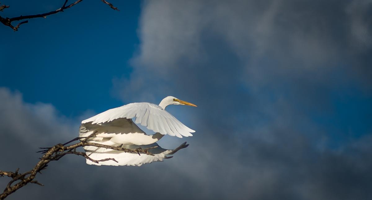 Egret-21