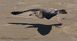 Gull11.jpg