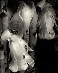 Indian_Pipes_No_1_2011_D7000_60AFS_Printed_11x14.jpg