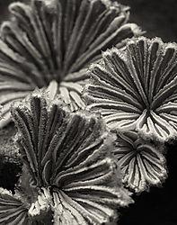 Mushroom_No_20_2010_Schizophyllum_commune_No_2_D90_60AFS_Printed_11x14.jpg