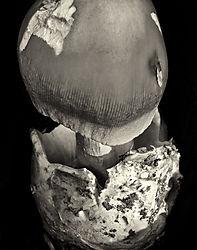 Mushroom_No_29_2012_1456_D7000_70-180_95_6T_Printed_11x14.jpg