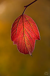 Back-Lit--Leaf-8429.jpg