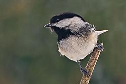 Chickadee-6816-2.jpg