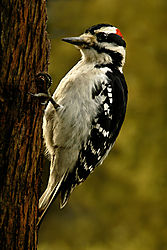 Hairy-Woodpecker.jpg