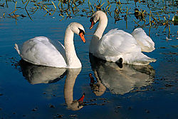 Mute-Swans1.jpg