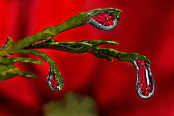 Poinsettia-Three-Refractions.jpg