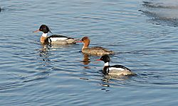 Red-breasted_Mergansers.jpg