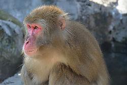 Snow_Monkey1.jpg