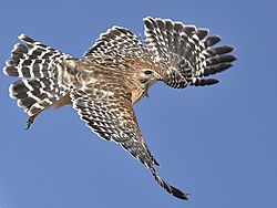 red-tail_takeoff_001.JPG