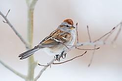 American_Tree_Sparrow-03.jpg