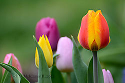 tulips1web.jpg