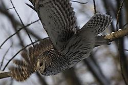 flight_owl.jpg